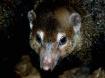 Mongoose Mischief