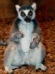 Lemur Fun