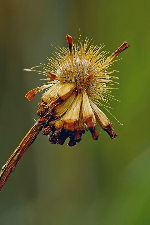 Button Bush Seedhead