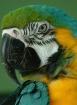 Coy Macaw