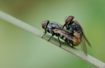 Insects Mating #2