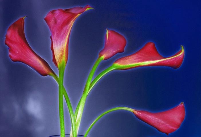 Christmas Calla Lilies