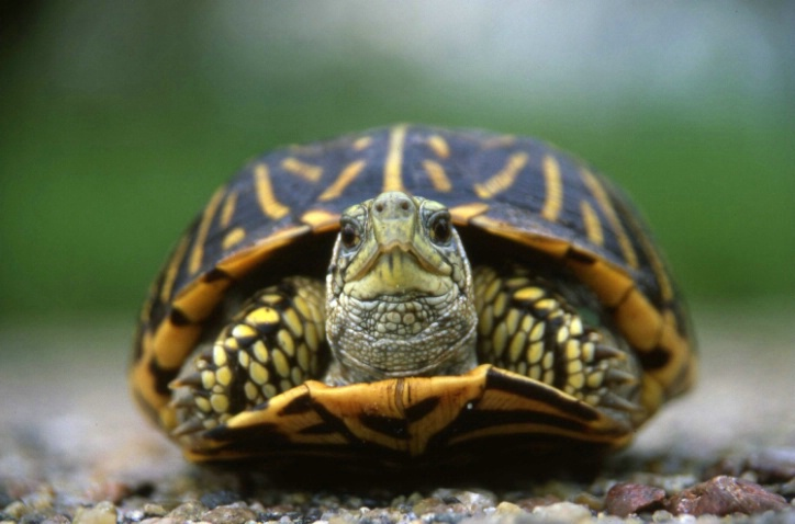 Ornate Box Turtle - Valentine N.W.R. - Nebraska - ID: 3113913 © Larry Lightner
