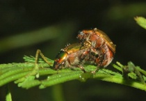 Insects Mating #3