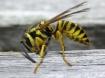 Paper wasp at wor...