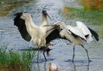 Wood Storks Fighting (Mycteria americana)