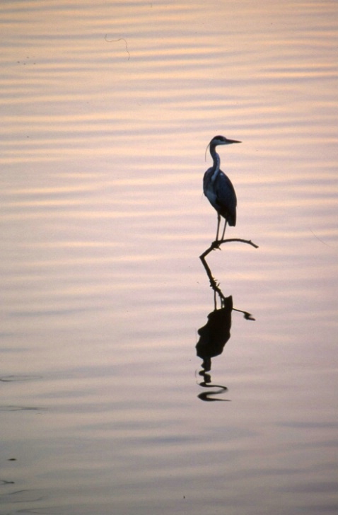 Heron on the Arno - Florence - ID: 3121863 © Larry Lightner