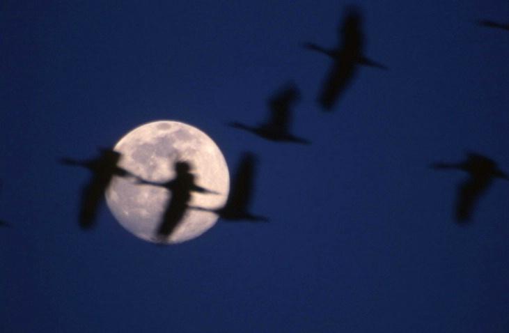Sand Hill Cranes - Kearney - Nebraska - ID: 3126899 © Larry Lightner