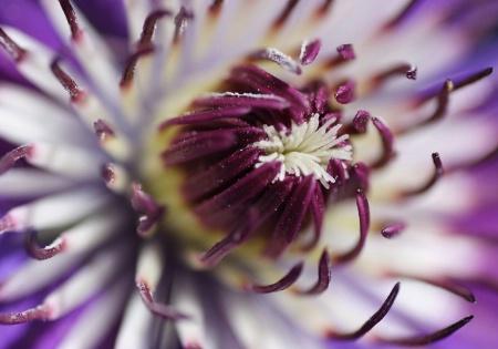 ~Clematis Closeup~