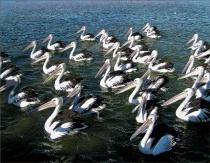 * Pelicans # 26 *