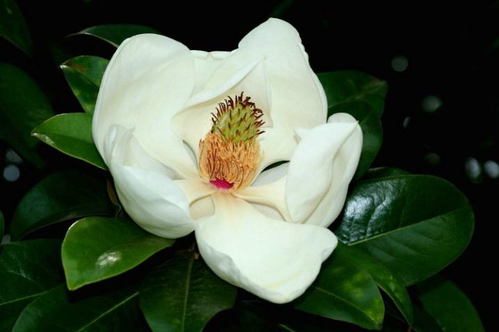 Magnolia #1 - ID: 3172520 © John DeCesare