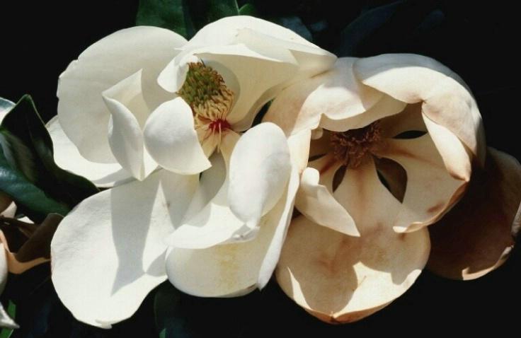 Magnolia #2 - ID: 3172628 © John DeCesare