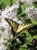 Tiger Swallowtail...