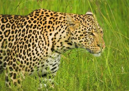 Wild leopard.
