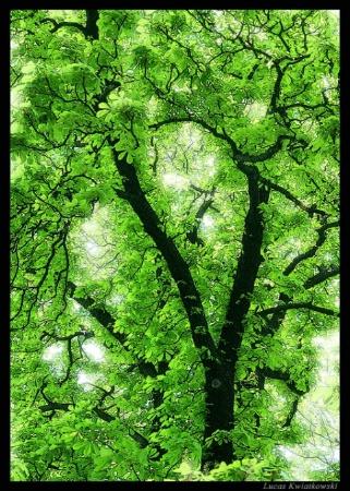 Green Chestnut