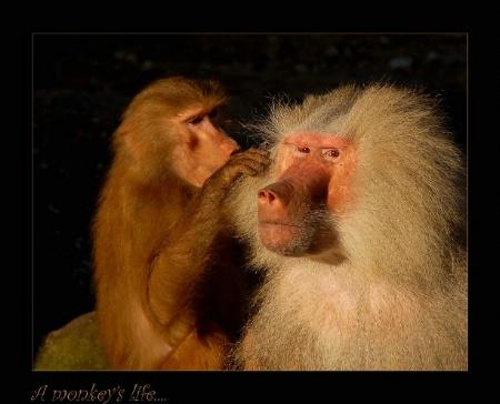 A monkey's life...
