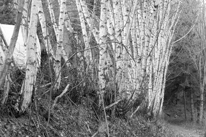 a lot of birch