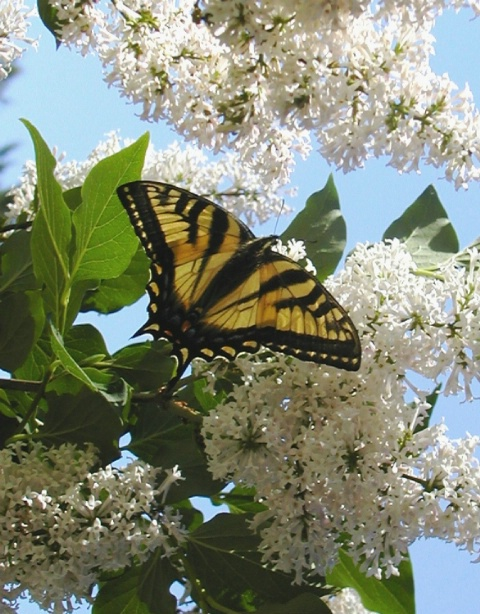 Tiger Swallowtail Butterfly on Lilacs
