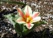 Quebec Tulip