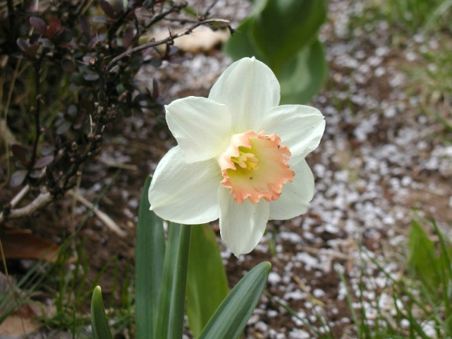 Daffodil - my flower Garden