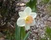 Daffodil - my flo...