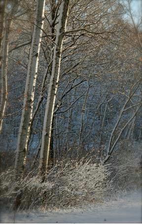 Sun on winter trees