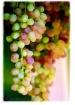 Washington Grape ...