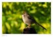 joofaer sparrow