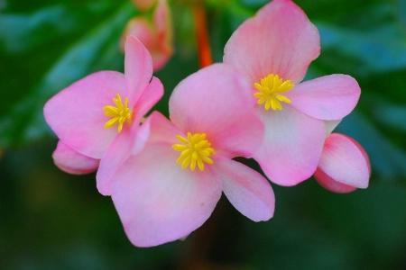 begonias pink