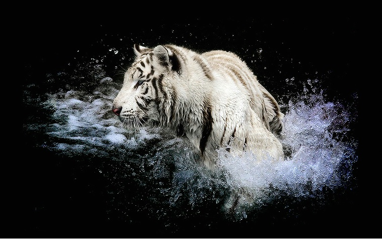 White tiger in the watter
