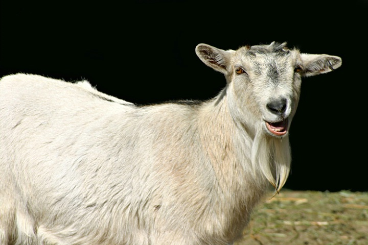 Happy As A Goat!