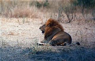 Serengeti Lion - ID: 3226808 © David Resnikoff