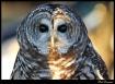 Barn Owl from Ohi...