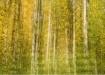 Birch after