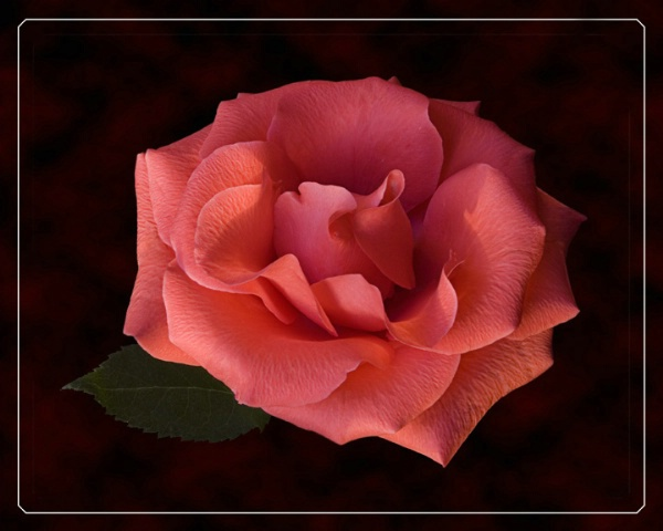 My Rose 2