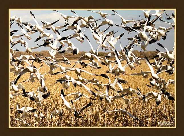 Snow Geese Blast Off - ID: 3239712 © Edward H. Mertz