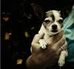 Mia the Devil Dog