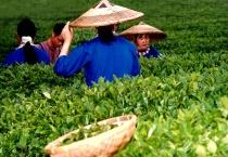 Versatile Hat, Yao Shan Tea Garden