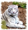 White Tiger at th...