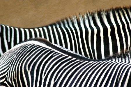 Zebra Idea