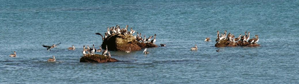 Pelican Pano at Doheny Beach - ID: 3251923 © Daryl R. Lucarelli