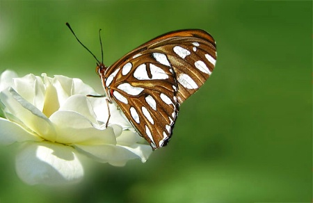 George's Butterfly