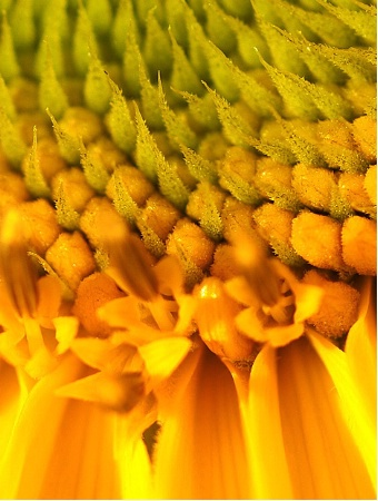 Sunflower Details