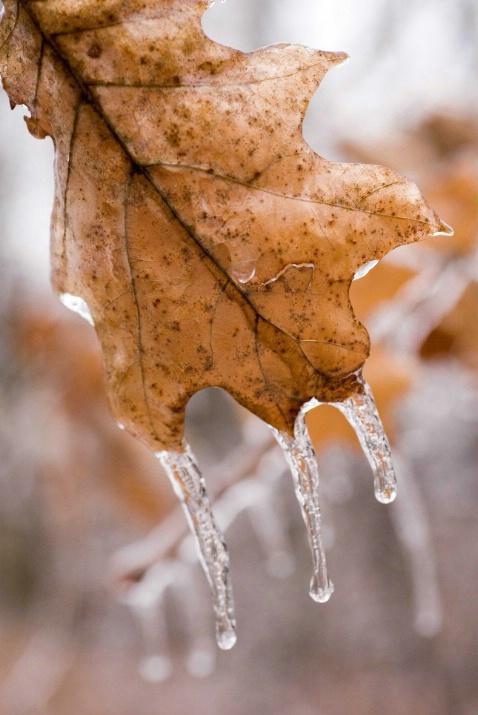 icy oak leaf - ID: 3277959 © Sibylle Basel