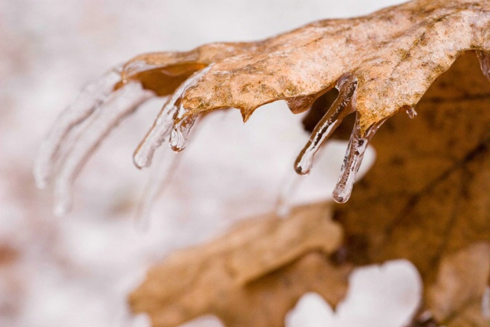 another icy oak leaf - ID: 3277960 © Sibylle Basel
