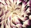 Circle of petal #...