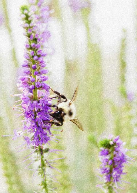 Bee on Speedwell Flower
