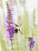 Bee on Speedwell ...