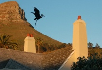open-billed stork/cape town