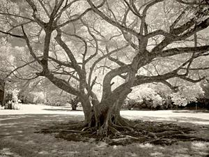 Tree I, Molokai